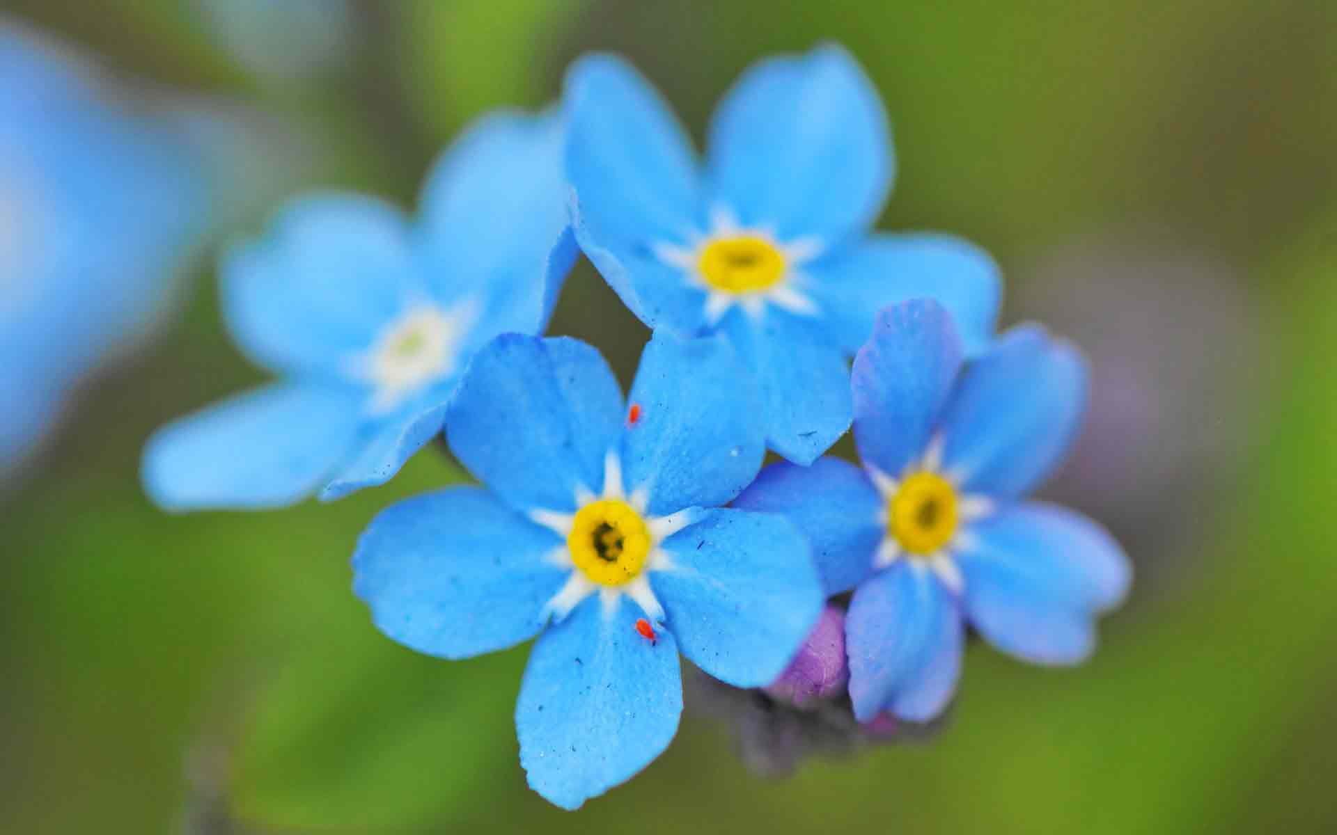 ... Яркие цветы, Яркие цветы синего цвета: www.kartinkioboi.ru/photo/nature/jarkie_cvety/19-0-4481